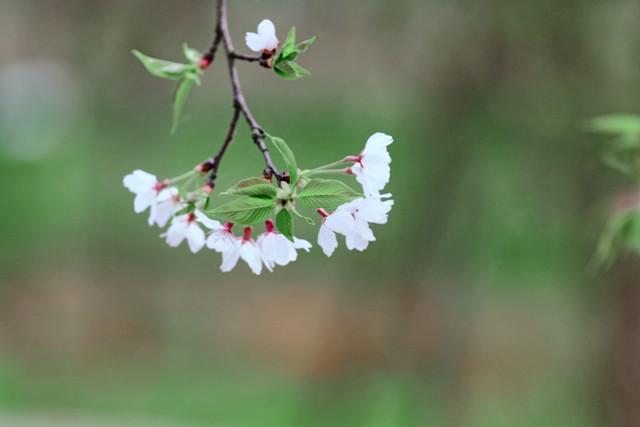 樱花之美不仅仅限于花朵,每年2到3月春的脚步还在路上的时候,山