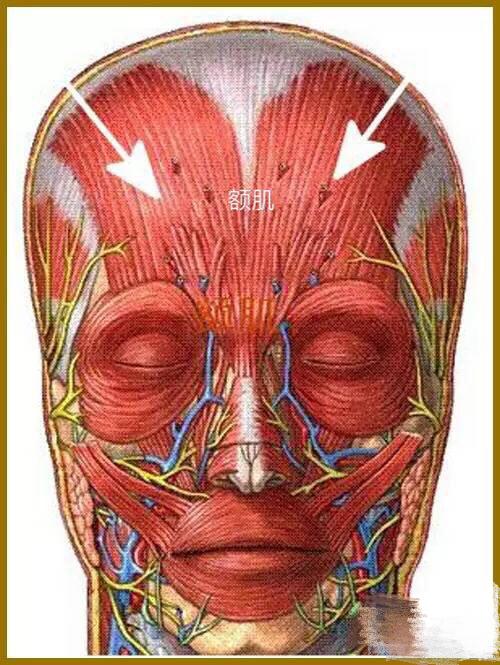 额肌 额肌——额肌通过帽状腱膜直接与枕肌相连。因此,不管枕