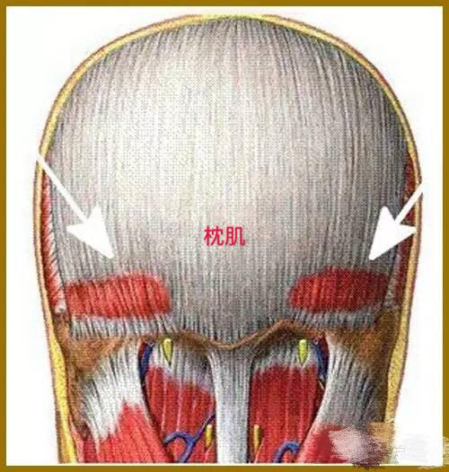 枕肌 枕肌——枕肌通过帽状腱膜直接与额肌相连。 肌连接: