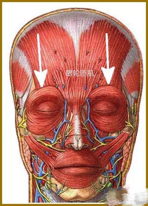 眼轮匝肌 眼轮匝肌——肌连接:内侧,至睑内侧韧带,额骨和上