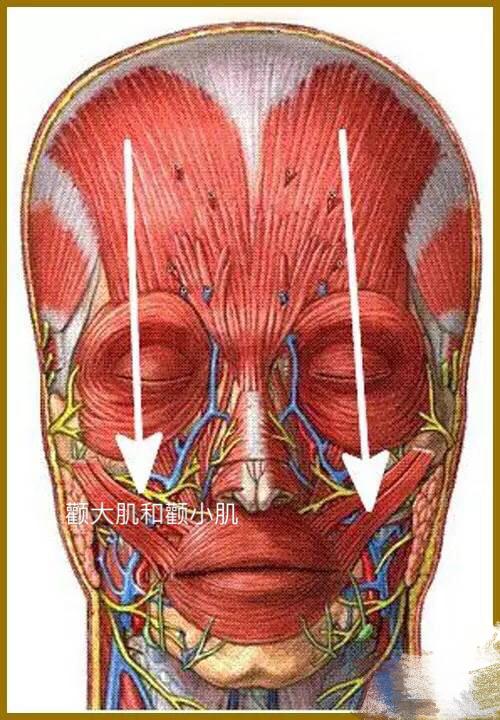 颧大肌和颧小肌——颧大肌和颧小肌是主要的笑肌。 肌连接:上