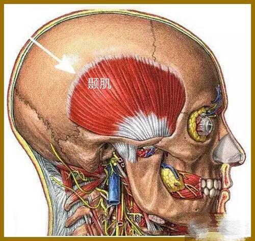 颞肌——颞肌是一个大的扇贝形肌肉,覆盖在头侧面耳的前、上和后