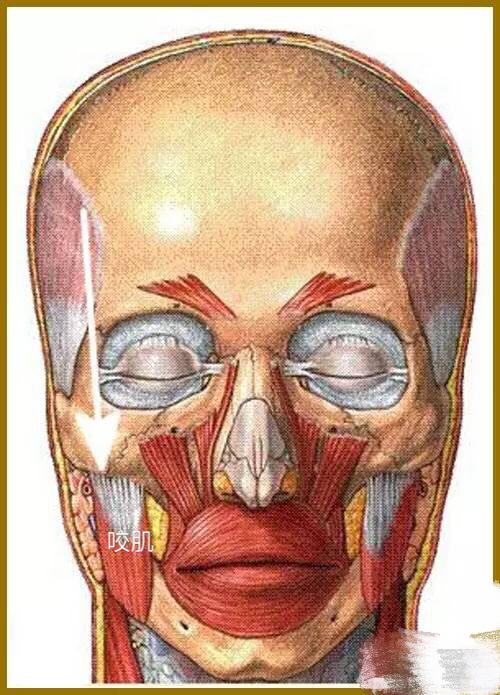 咬肌——咬肌是最重要的咀嚼肌。在TMJ有问题时,首先应该治疗咬肌