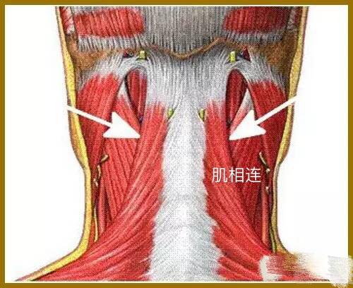 肌连接:  前斜角肌:上方,到第3至第6颈椎横突的前面。下